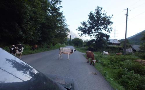 Коровы по дороге на озеро Рица